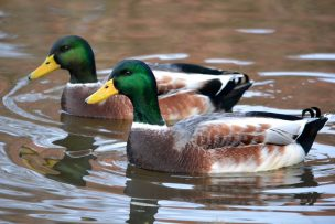 ducks-birds-nature-pond-animals-duck-twins